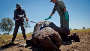 Il corno di rinoceronte